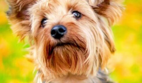 Yes, a Yorkie - and Many Other Types of Dogs - Could Be a Service Dog