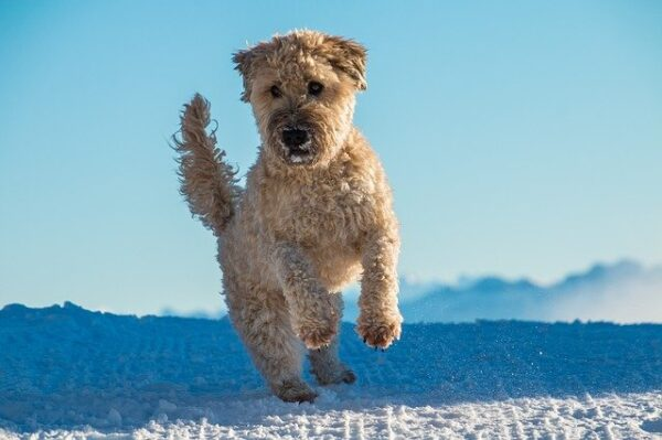 soft coated whaten terrier