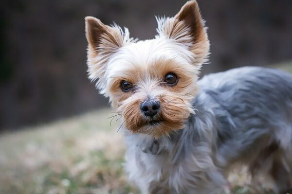 yorkshire terrier service dog for small spaces